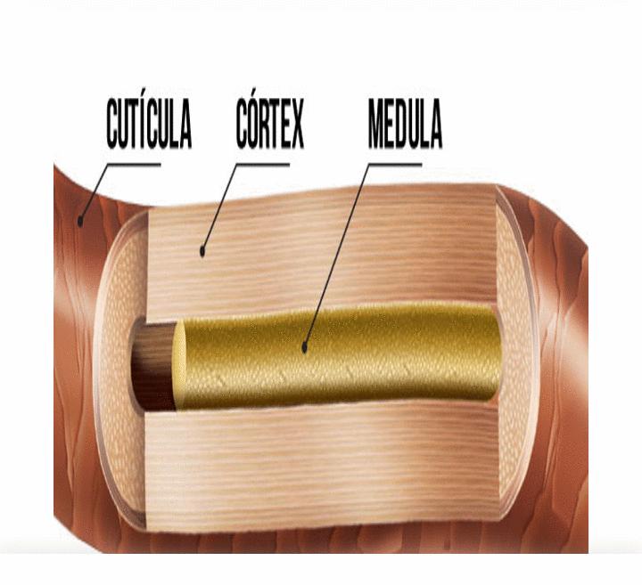 Estrutura do Cabelo