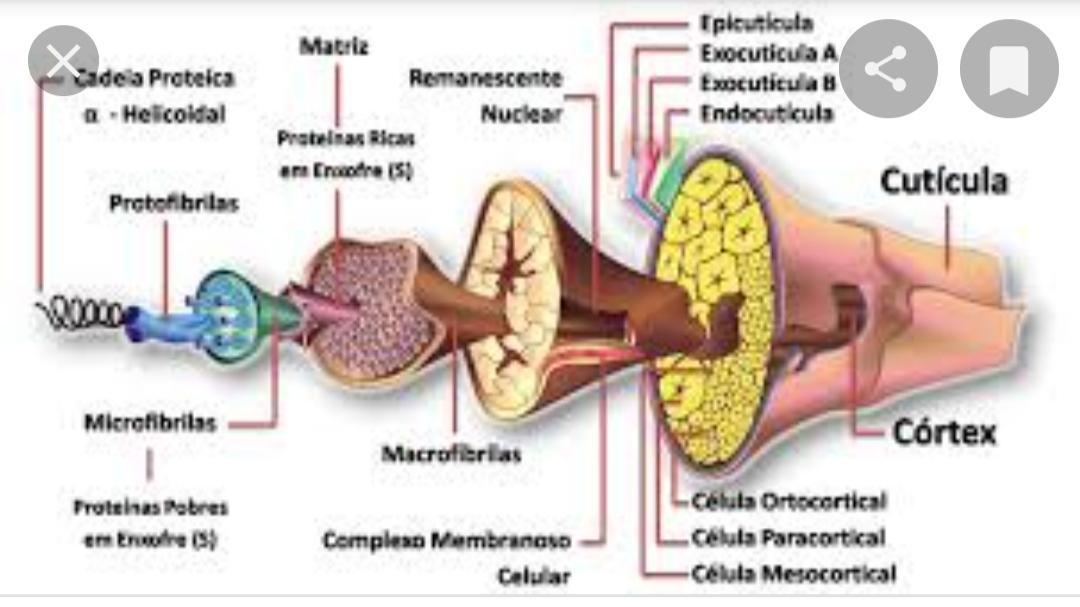 A composição da fibra capilar - Focando no córtex